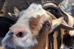 Bob the Goat